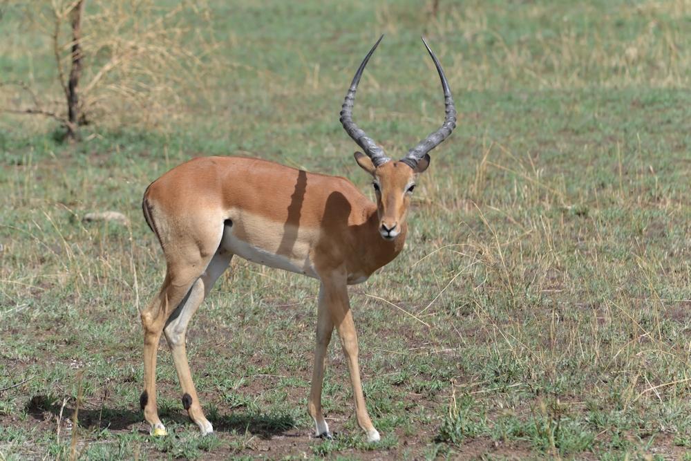 Serengeti - Young Impala