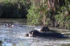 Serengeti - Hippo