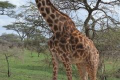 Serengeti - Twiga