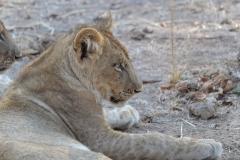 South Luangwa - Lioness