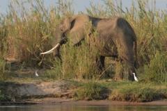 Zambezi - Elephant and Egrets