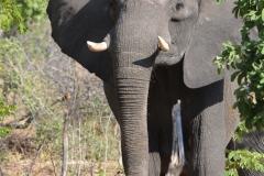 Hwange - Elephant
