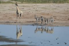Hwange - Giraffe and Zebra at the Wayerhole