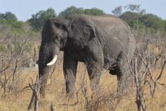 Hwange - Lone Bull Elephant