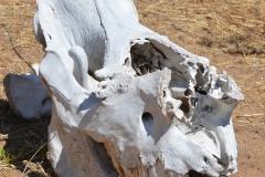 Matobo - White Rhino Skull