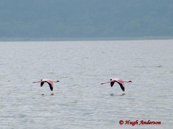 81222 Flamingos in Empakaai Crater