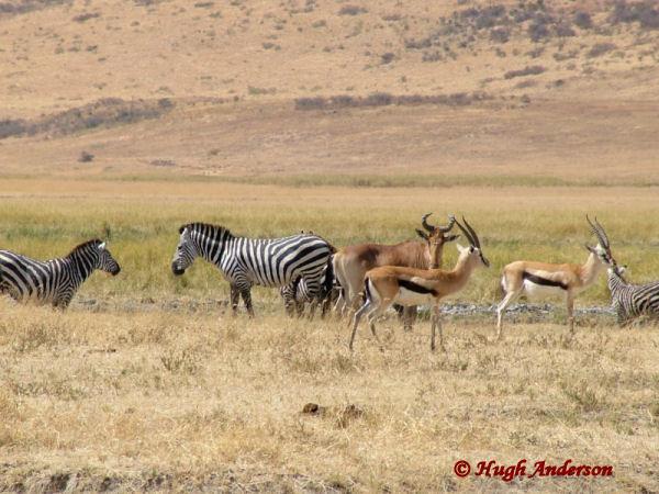 81623 Zebra Hartebeest + Tommys