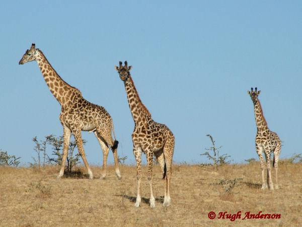 81735 Giraffe