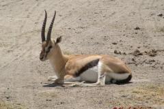81627 Thompson's Gazelle