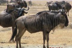81641 Wildebeest