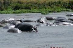 81651 Hippo Pool