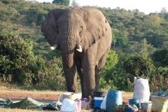 81710 Elephant invades Roy Safaris