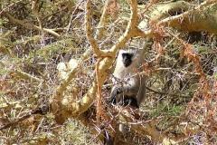 19 Monkey in Thorn Tree - Ngorongoro